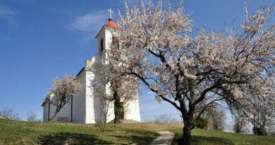 Pécsi siker: Európai Év Fája lett a Havi-hegyi mandulafa!